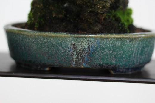 bonsai shohin ilex seratta 02
