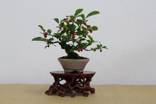 bonsai shohin ilex seratta 03