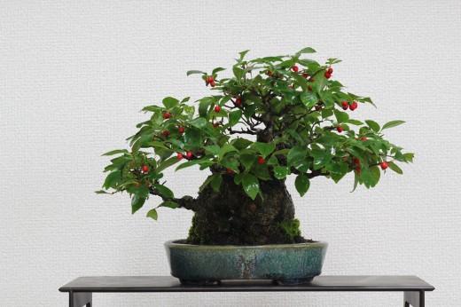 bonsai shohin ilex seratta
