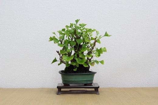 bonsai shohin ilex serattaginkgo biloba