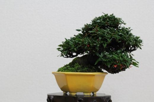 bonsai shohin trachelospermum indicum