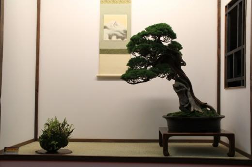 juniperus tokonoma dany use - saulieu 2013