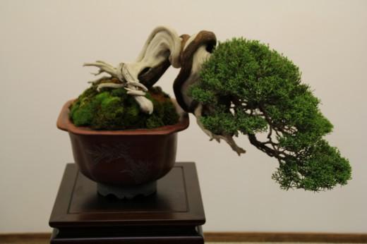 juniperus tokonoma mauro stemberger - détail