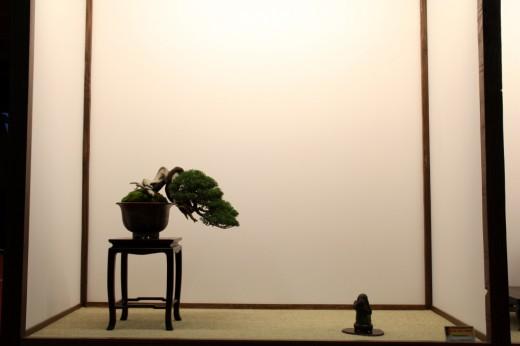 juniperus tokonoma mauro stemberger - saulieu 2013