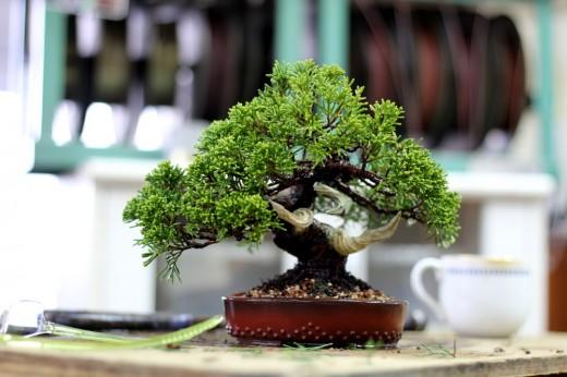 koji hiramatsu fini la mise en forme d'un ptit juniperus  00