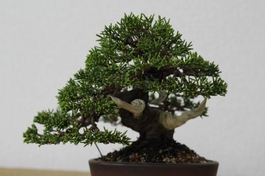 koji hiramatsu fini la mise en forme d'un ptit juniperus  01