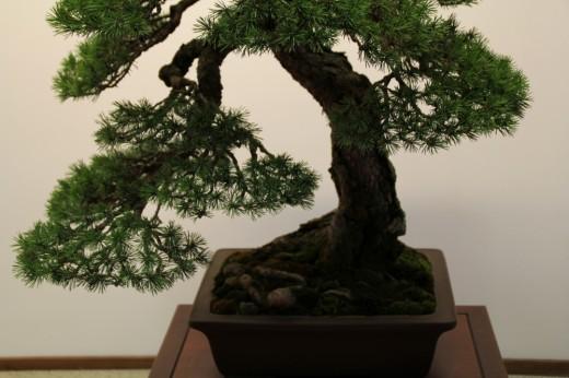 pinus sylvestris tokonoma mauro stemberger - branche basse