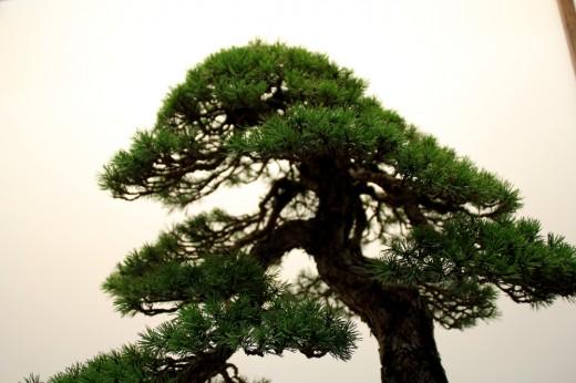 pinus sylvestris tokonoma mauro stemberger - cime
