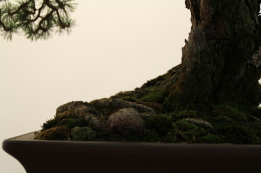 pinus sylvestris tokonoma mauro stemberger - nebari