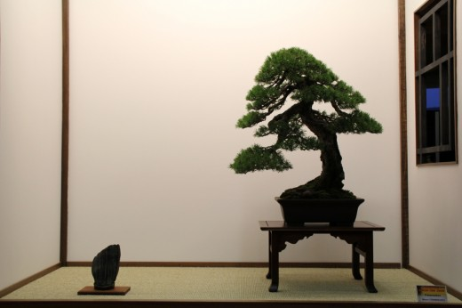 pinus sylvestris tokonoma mauro stemberger - saulieu 2013