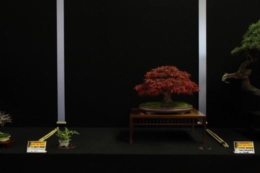 saulieu 2013 - acer palmatum shishigashira - propriétaire m otto f jacobs - pot japon