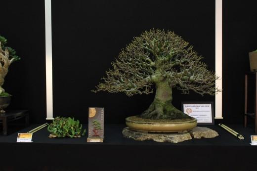 saulieu 2013 - alnus serrulata - propriétaire el tim - pot japon