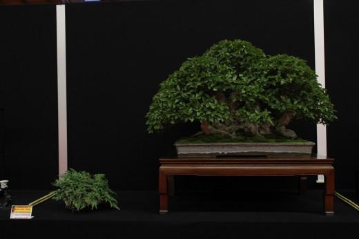 saulieu 2013 - carpinus turczeninowi - propriétaire ian stewardson - pot gordon duffet