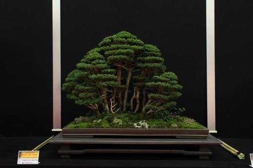 saulieu 2013 - cryptiomeria japonica - propriétaire alexandre escudero - pot tokoname