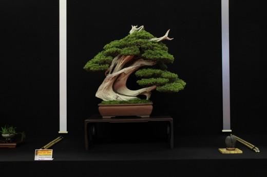 saulieu 2013 - juniperus itoigawa - propriétaire mauro stemberger - pot japon