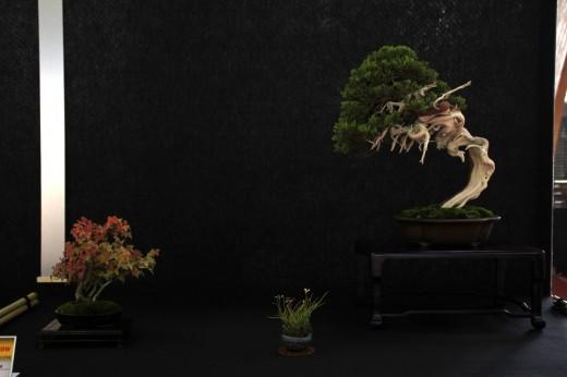 saulieu 2013 - juniperus sabina - propriétaire nicola crivelli