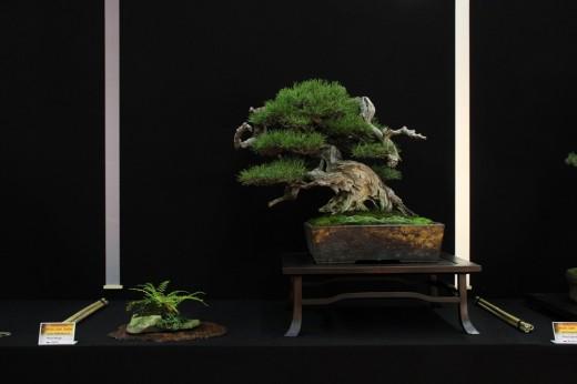 saulieu 2013 - pinus mugo - propriétaire enzo ferrari - pot japon