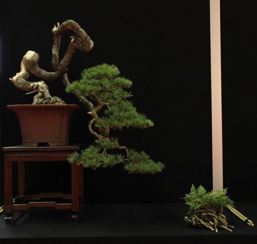 saulieu 2013 - pinus sylvestris - propriétaire jorge campos - pot japon