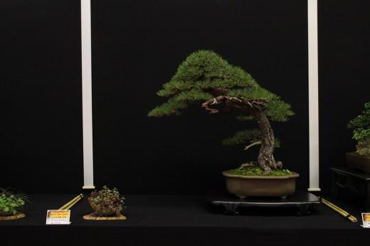 saulieu 2013 - pinus sylvestris - propriétaire luis balino - pot japon
