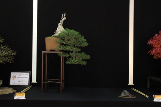 saulieu 2013 - pinus sylvestris - propriétaire mauro stemberger - pot japon
