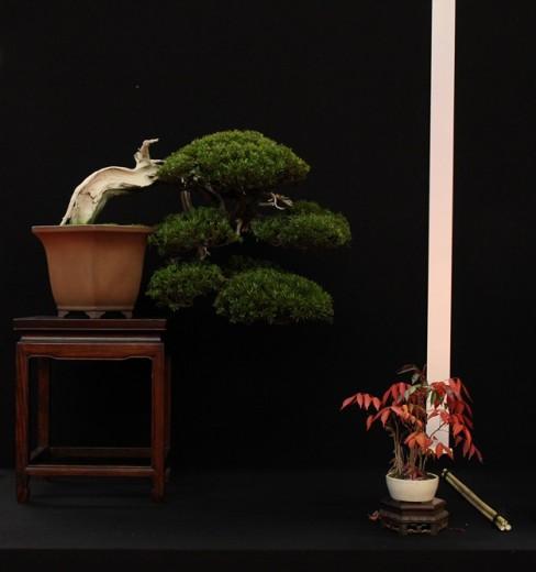 saulieu 2013 - taxus cuspidata - propriétaire josef valuch - pot japon