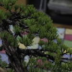 travail pin blanc actubonsai 02