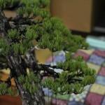 travail pin blanc actubonsai 03