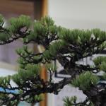 travail pin blanc actubonsai 04