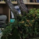 travail pin blanc actubonsai 05