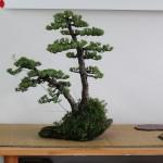 travail pin blanc actubonsai 06