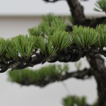 travail pin blanc actubonsai 07