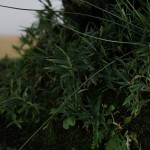 travail pin blanc actubonsai 09