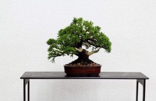 shimpaku avant mise en forme