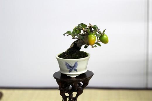 shugaten 2013 - 04 - mame bonsai 01