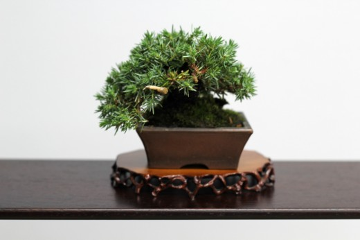 shugaten 2013 - 04 - mame bonsai 02