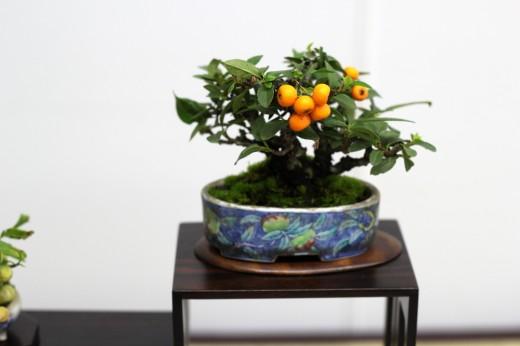 shugaten 2013 - 04 - mame bonsai 06