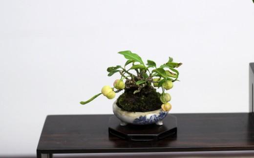 shugaten 2013 - 04 - mame bonsai 07