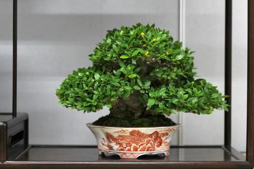 shugaten 2013 - gardenia