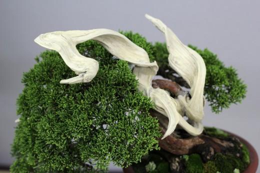 shugaten 2013 - juniperus ten jin