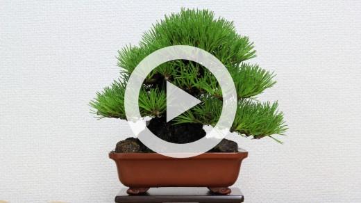 diaporama shohin bonsai syunsyouen