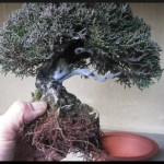 rempoter son bonsai