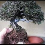rempoter son bonsai