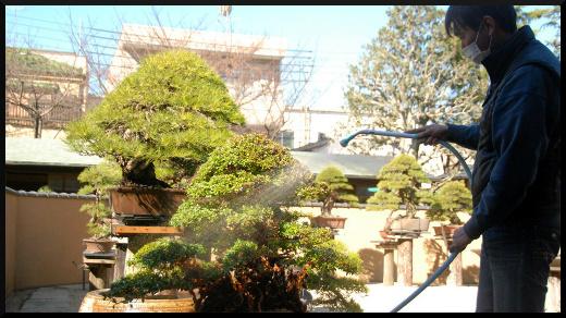 soins et culture des bonsai