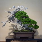 bonsai de kimura exposé au musée d'omiya