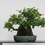 ilex serrata shohin bonsai 1