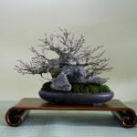 meifu-ten acer palmatum sur roche