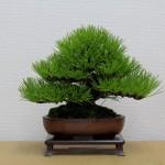 pinus-thunbergii-moyogi-shohin-01