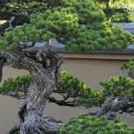 Chiyo-no-matsu _ pin blanc goyo-matsu - omiya bonsai museum 08