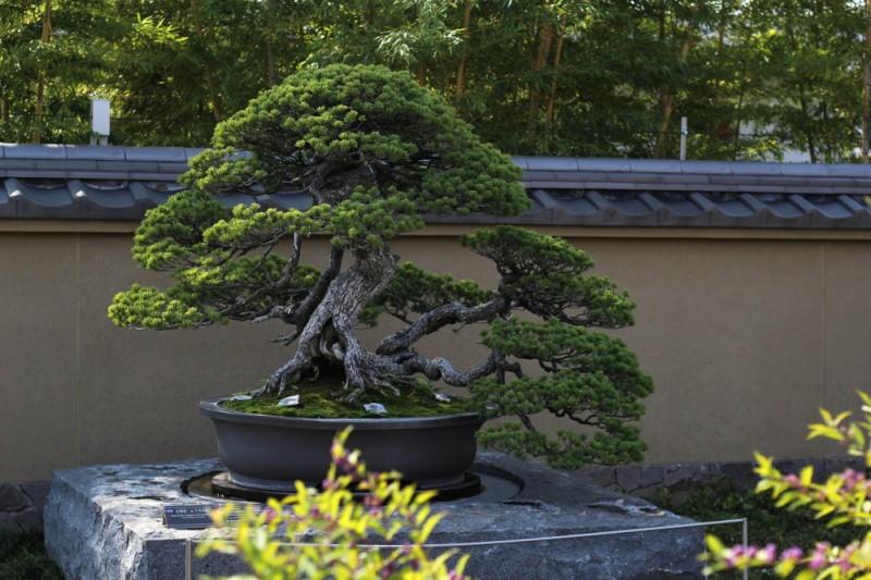 Chiyo-no-matsu _ pin blanc - omiya bonsai museum 01