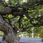 Chiyo-no-matsu _ pin blanc - omiya bonsai museum 05